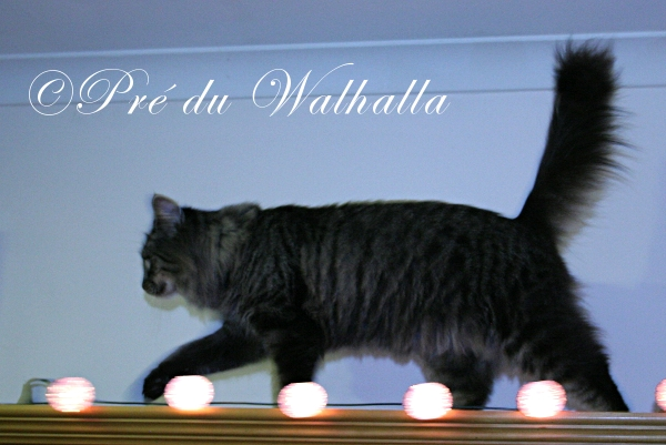 Photo de chat norvégien