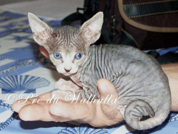 Photo d'Amitâbha, chat sphynx brown mackerel tabby et blanc