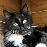 Photo de Sunshine, chatte norvégienne