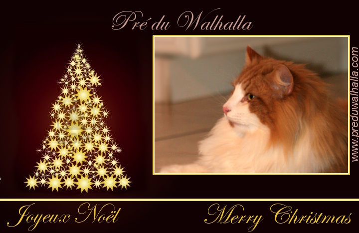 Norwegian forest cat du Pré du Walhalla, Merry Christmas 2012